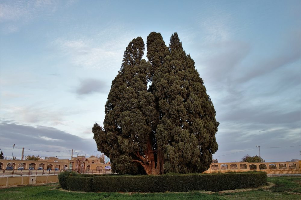 ... and the great cypress - the oldest tree of Iran