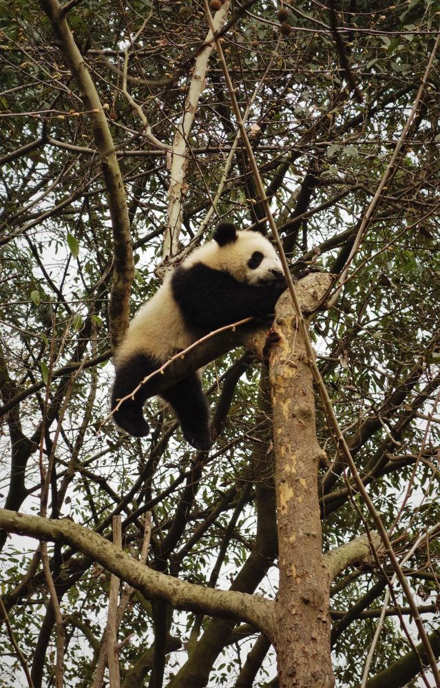 rezerwat pandy wielkiej