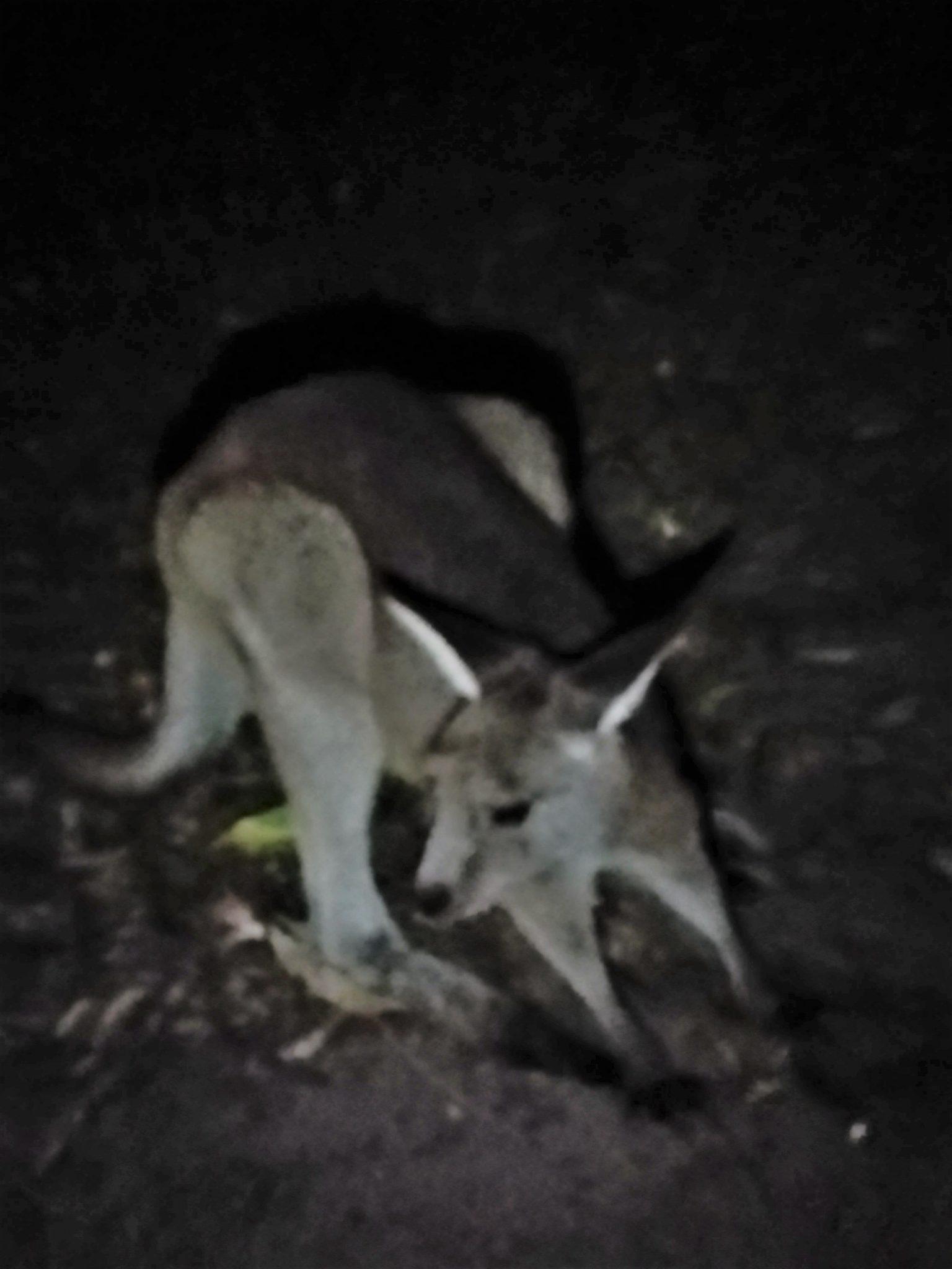 gdzie znaleźć koale